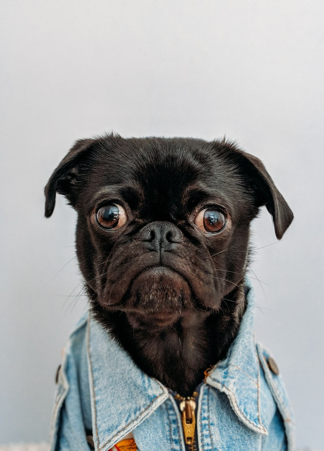 cute dog dressed in denim shirt