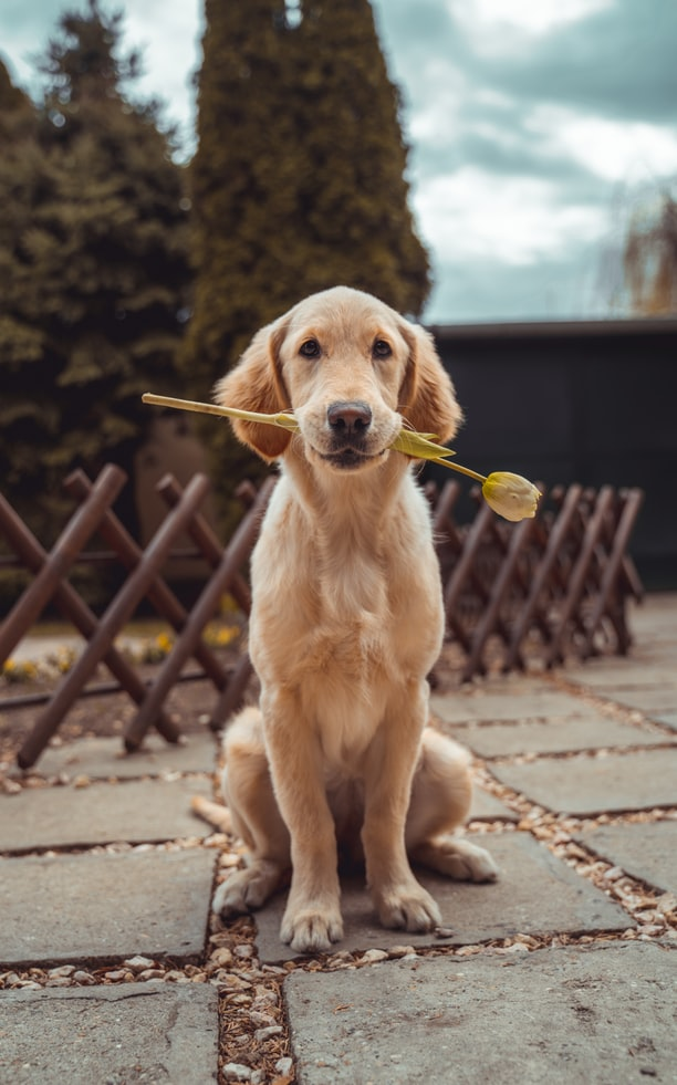 dog holding a flower